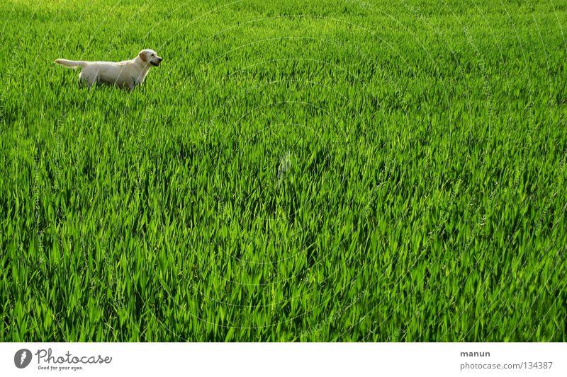 I'm ready! I'm ready! Labrador Wheatfield Field Grass Meadow Dog Spring Green Animal Bright green Expectation Mammal bright Labrador yellow Labrador labbi