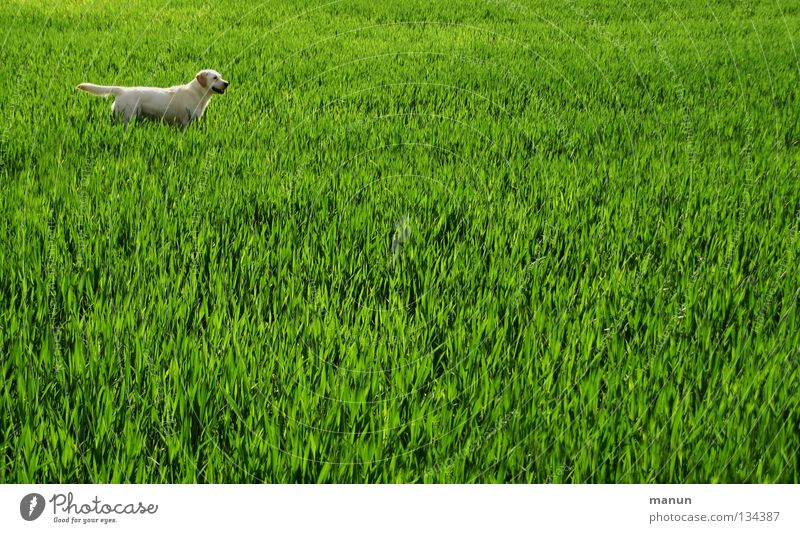 Nature Green Animal Relaxation Meadow Grass Spring Dog Landscape Field Blonde Agriculture Mammal Expectation Labrador Wheatfield