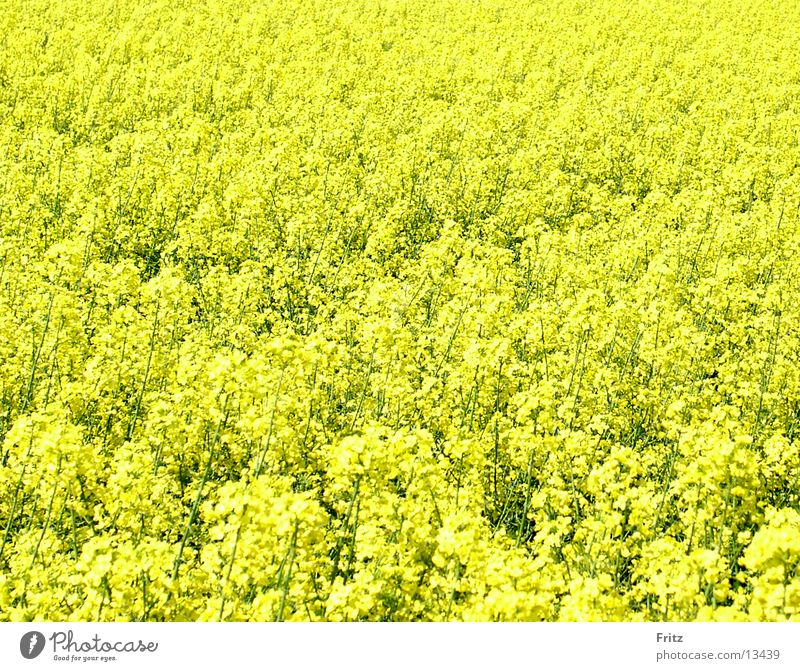 all-yellow Canola Yellow Field Spring