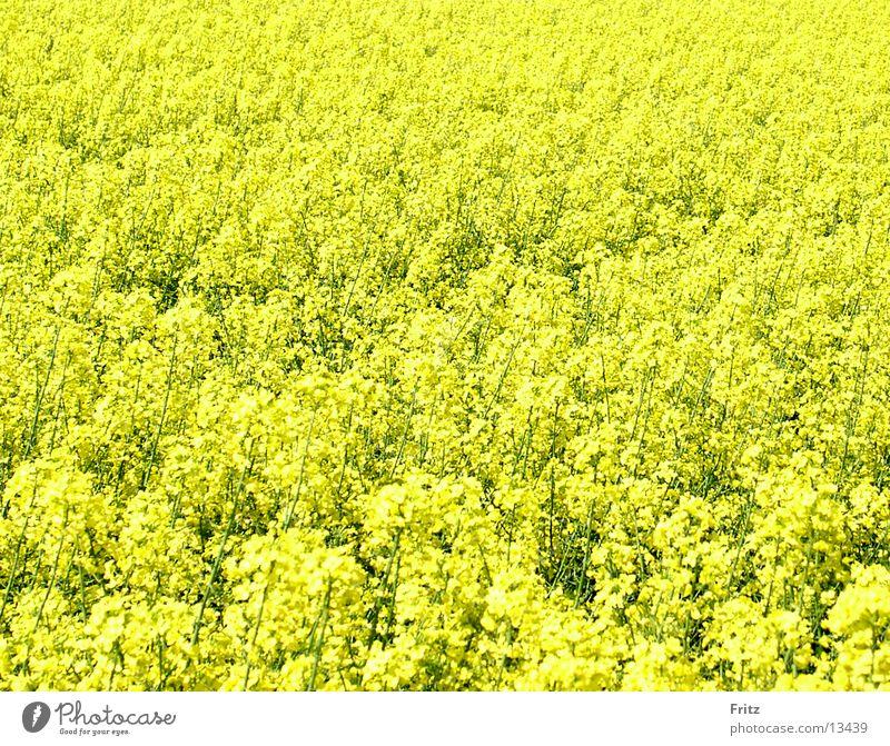 Yellow Spring Field Canola