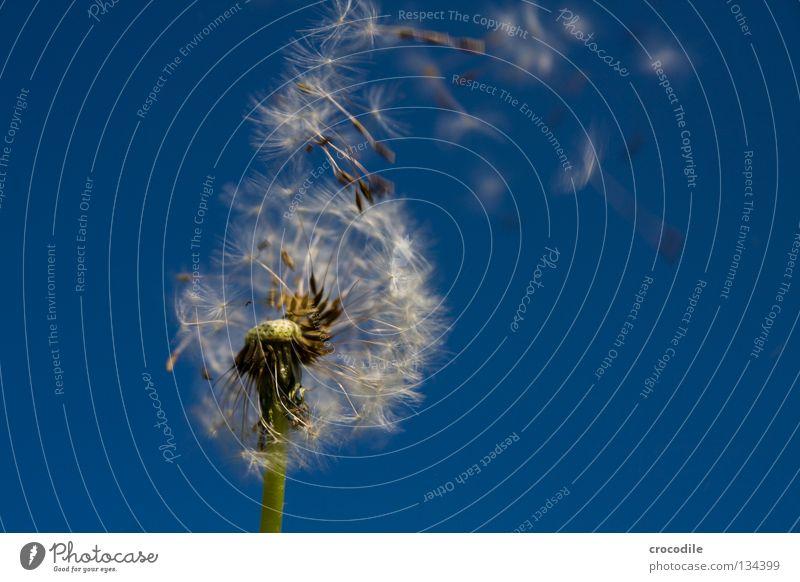 Green Dark Freedom Spring Flying Umbrella Stalk Dandelion Seed Sail Blue sky Offspring Propagation Pol-filter