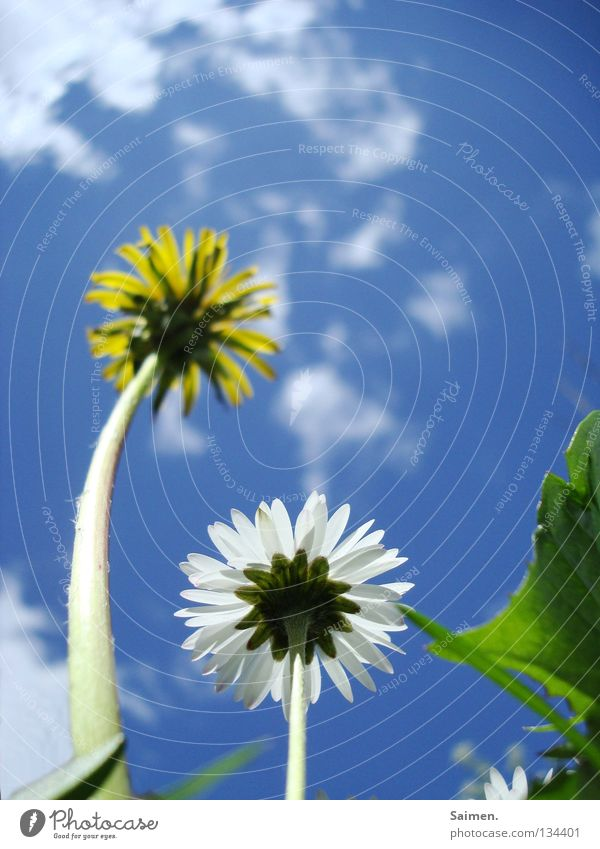 Big brother with dyed hair Dandelion Meadow Daisy Flower White Yellow Green Clouds Stalk Blossom Blossom leave Large Small 2 Curved Worm's-eye view Envy