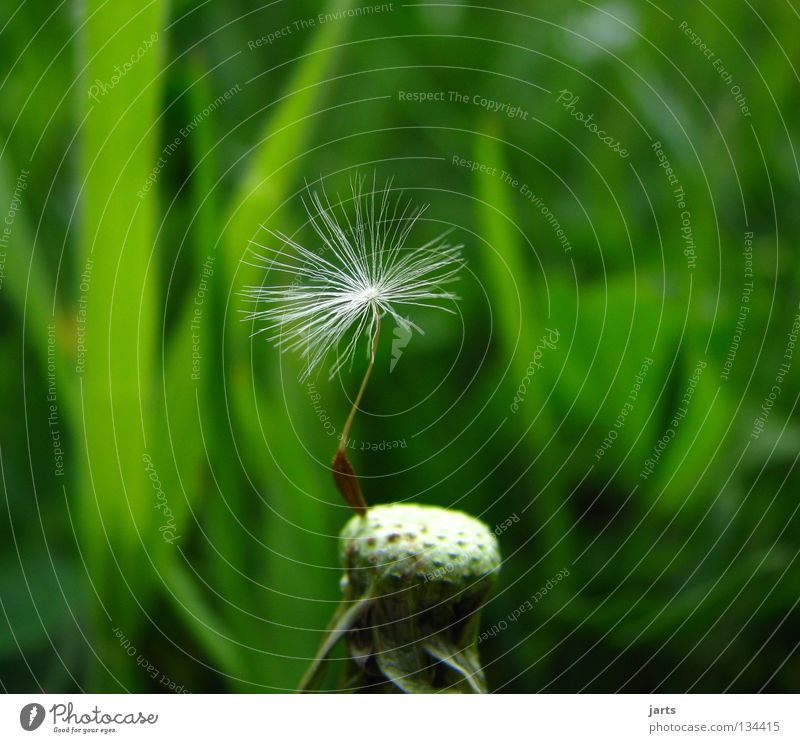 solo Loneliness Meadow Flower Dandelion Flower meadow Green Summer Transience jarts