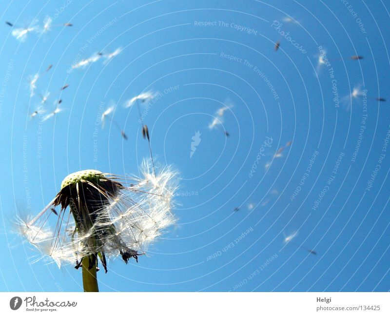 Dandelion with flying seeds Flower Blow Multiple Sow Summer Spring May Clouds Plant Blossoming Meadow Wayside Growth Grown Side by side Long Thin Disheveled