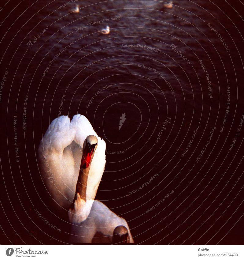 Water White Animal Black Coast Lake Waves Bird Elegant Swimming & Bathing Feather Curiosity Footbridge Double exposure Duck Float in the water