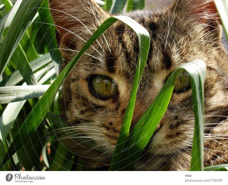 On the lookout Cat Grass Green Mammal Nature mackerelled