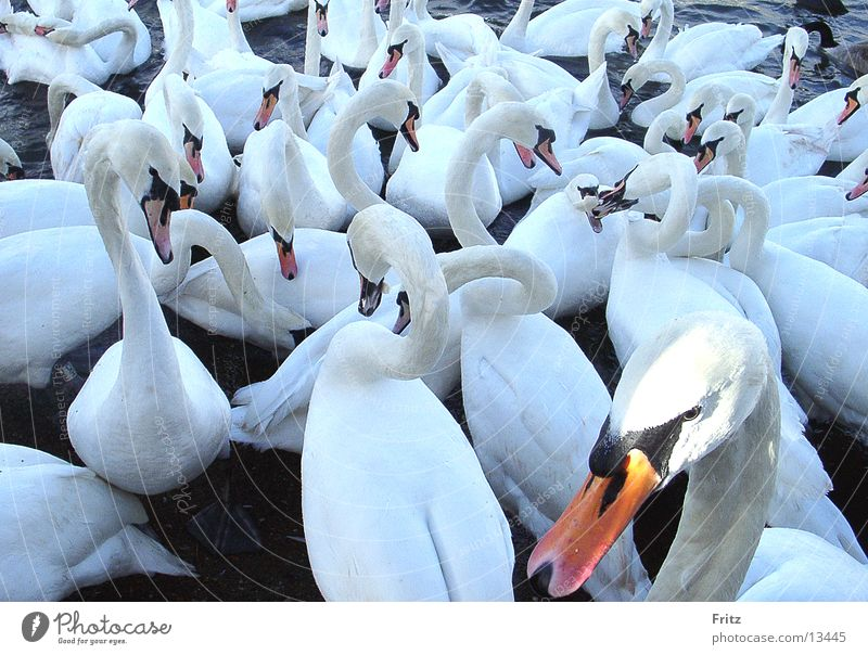 White Transport Neck Swan Feeding
