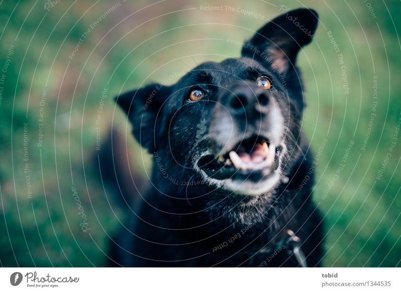 Spreedorado | WUFF ! Pet Dog Animal face Pelt 1 Observe Friendliness Happy Cuddly Black Old Gray Sit Lawn Meadow Expectation floppy ears Colour photo