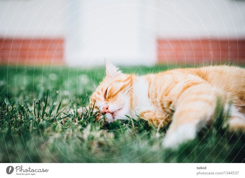 Spreedorado. Lazy bastard. Grass Garden Lawn Pet Cat 1 Animal Sleep Cuddly Calm Tiger skin pattern Rest Wall (barrier) Brick Brick wall Goof off Comfortable