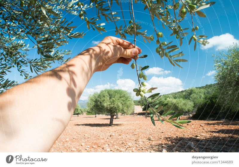 Hand holding olive tree branch. Vegetable Fruit Nutrition Garden Human being Nature Plant Tree Leaf Fresh Green oil picking food healthy background Organic