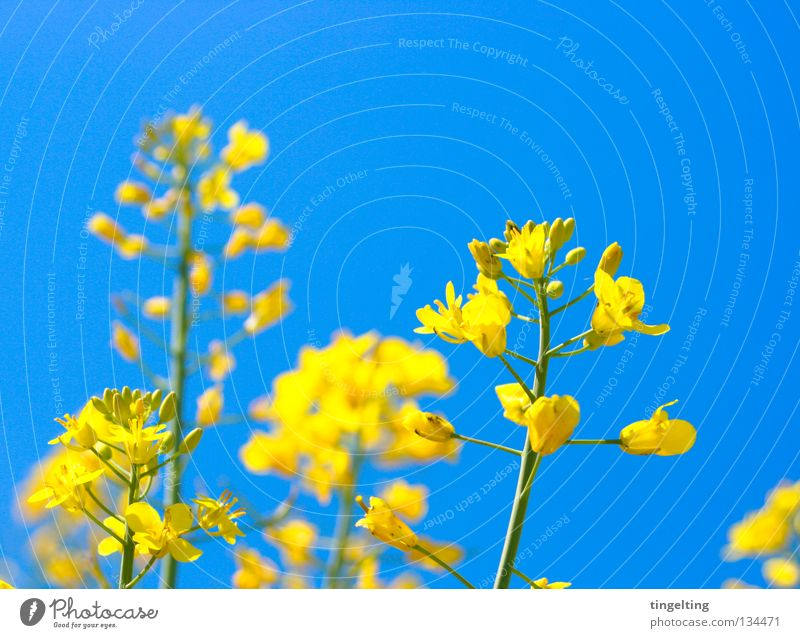 Sky Blue Plant Yellow Blossom Field Near Stalk Blossoming Beautiful weather Canola Sky blue Summery