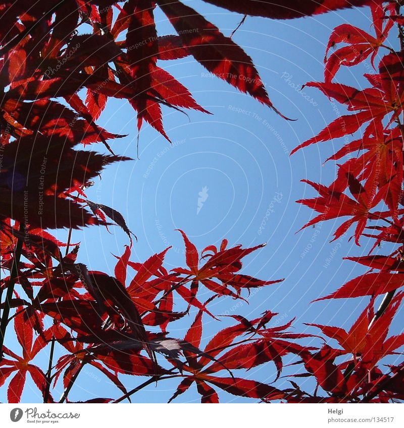 red maple leaves at the edge in front of a blue sky with free space for text in the middle Leaf Maple tree Maple leaf Spring Fresh Tree Bushes Park Long