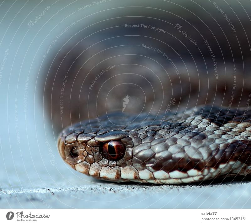 dangerous proximity Animal Wild animal Snake Animal face Scales Snake eyes Viper Adder 1 Observe Athletic Disgust Exotic Brown Bizarre Threat Reptiles Eyes