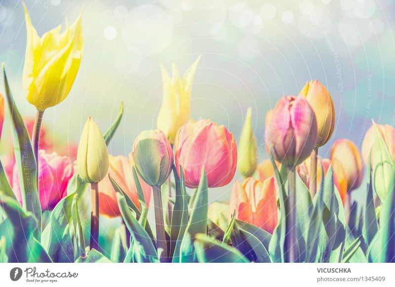 Tulips flowers in the park or garden Design Garden Feasts & Celebrations Nature Plant Sunlight Spring Beautiful weather Flower Park Blossoming Yellow