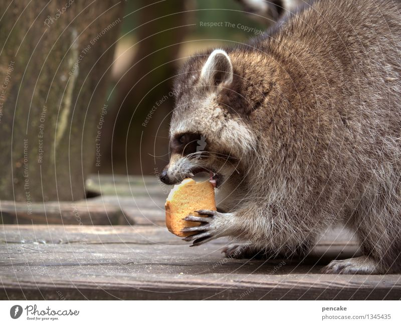 Crunchy Crunchy Crunchy... Nature Park Animal Wild animal 1 Eating Joy Passion Funny Raccoon Set of teeth Baked goods Beautiful Pelt Paw To feed Colour photo