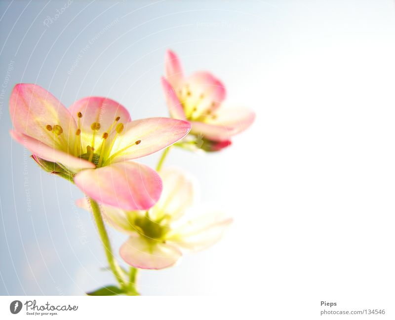 Small but fine Colour photo Interior shot Macro (Extreme close-up) Copy Space right Joy Decoration Nature Plant Spring Flower Blossom Blossoming Growth Pink