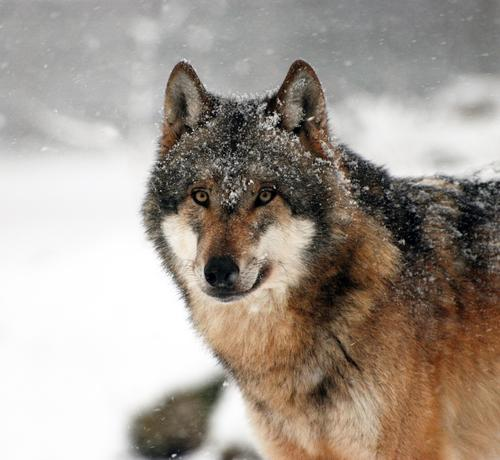 Nature Animal Winter Forest Snow Snowfall Ice Wild animal Frost Zoo Pride Timidity Wolf