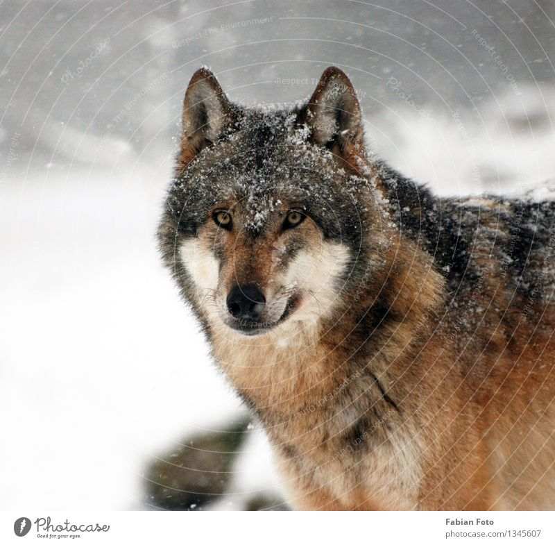 wolf Animal Winter Ice Frost Snow Snowfall Forest Wild animal Zoo Wolf wolves 1 Timidity Pride Nature Colour photo Exterior shot Shallow depth of field