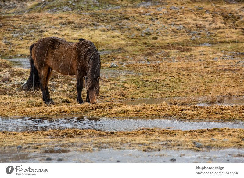 Wild brown Icelandic horse in spring Vacation & Travel Tourism Adventure Far-off places Wild animal Horse Eating Jump Iceland pony Iceland ponies weather mane