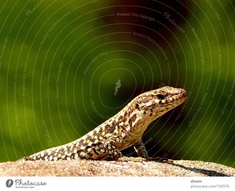 Wall (barrier) Stone Rock Tails Barn Reptiles Claw Vineyard Saurians Lizards Castle ruin