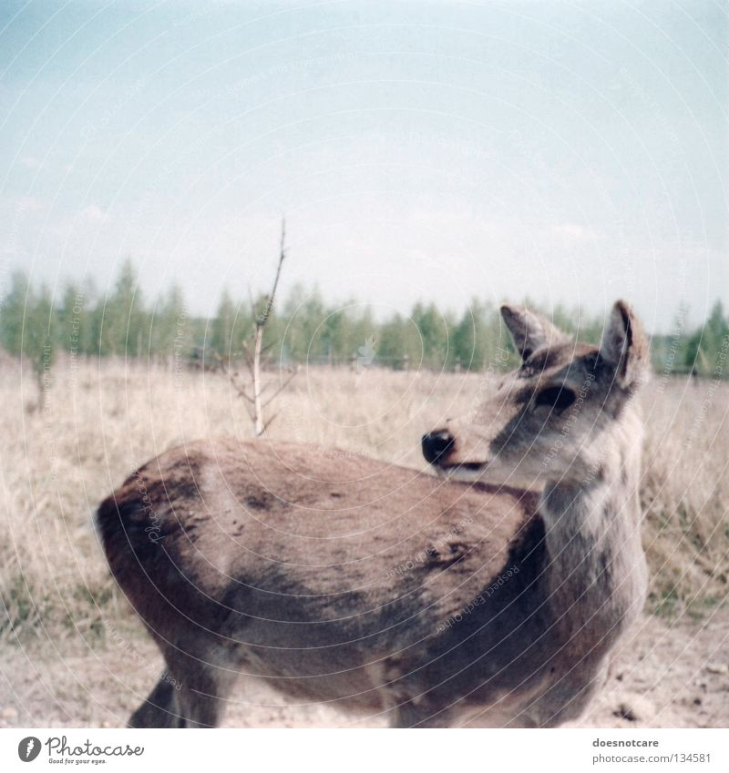 Chicken cat. Deer Roe deer Cute Animal Mammal Summer Leipzig Steppe Nature Trust sika sika deer lake cospuden