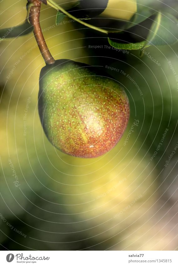 Nature Plant Healthy Eating Leaf Yellow Autumn Natural Brown Fruit Growth Fresh Gold Sweet Round Hang