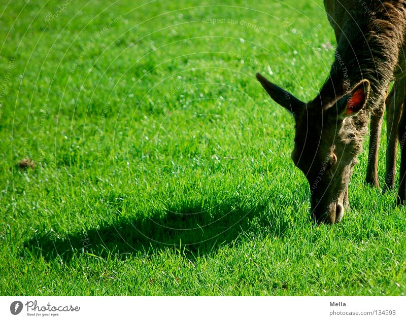 Green Beautiful Animal Nutrition Meadow Grass Brown Wild animal Corner Cute Ear Lawn To feed Mammal Timidity Roe deer