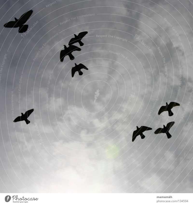 Sky Black Clouds Gray Air Together Bird Flying Aviation Pigeon Flock Scare Bad weather Plagues Glide Judder