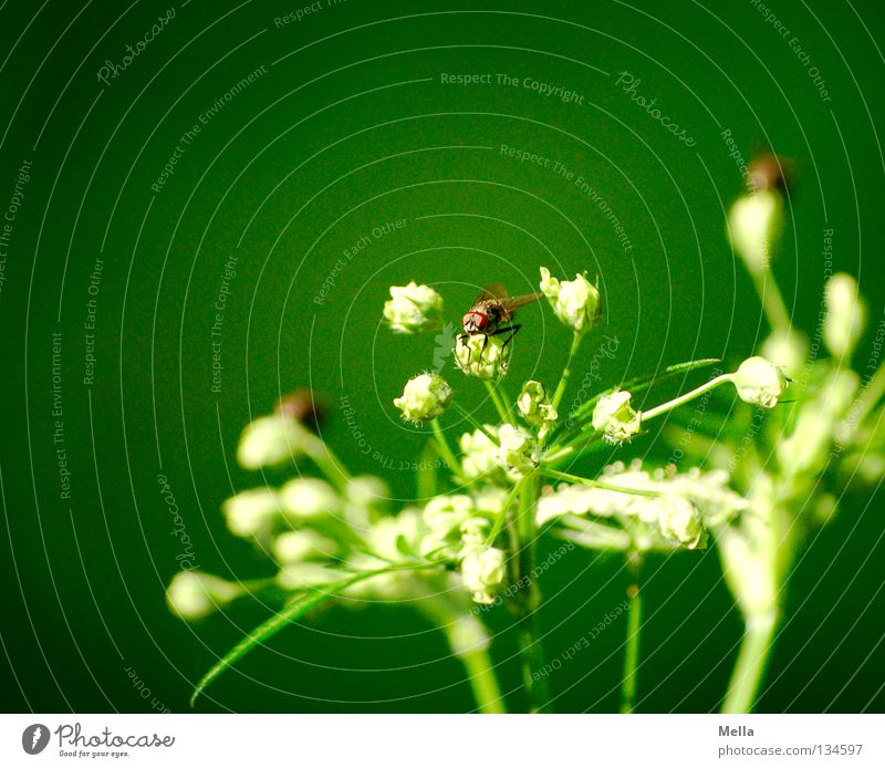 fly spring Apiaceae Umbellifer Green White Insect Compound eye Crouch Spring 3 Multiple Forest plant Flower Blossom Plant Environment Ecological Biology Animal