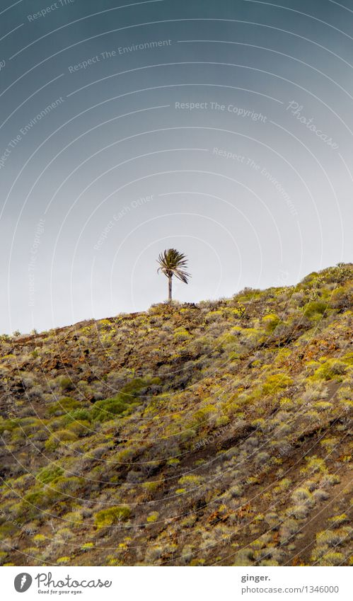 Little Pälmchen on La Palma Environment Nature Landscape Plant Earth Air Sky Clouds Spring Wind Tree Hill Rock Dark Blue Brown Green Palm tree Individual 1