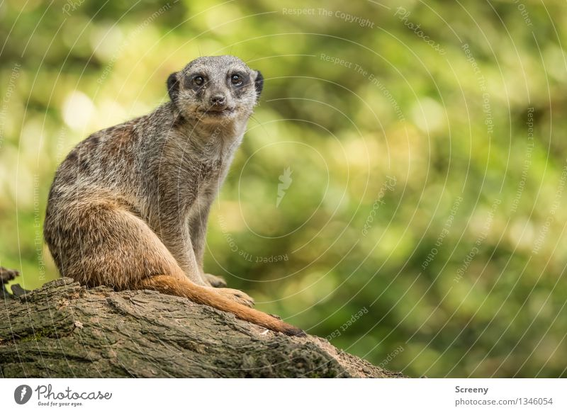Nature Summer Relaxation Animal Wood Wild animal Sit Observe Beautiful weather Watchfulness Testing & Control Attentive Meerkat