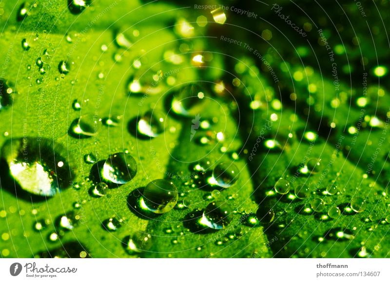 The pearls of nature Alchemilla vulgaris Drops of water Leaf Green Reflection Refraction Wet Summer Spring Rain Macro (Extreme close-up) Close-up Water Sphere