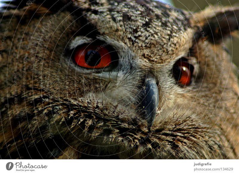 robber Owl birds Eagle owl Bird Bird of prey Beak Feather Ornithology Animal Beautiful Environment Red Wisdom Smart Colour Pride Looking Life Nature Eyes