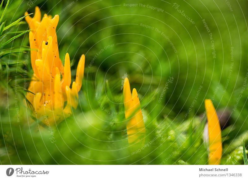 Sticky Hörnling Environment Nature Mushroom Beautiful Small Natural Yellow Green Friendship Colour photo Exterior shot Close-up Macro (Extreme close-up)