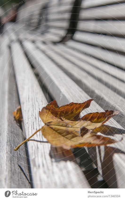 wish Town Park Wood Esthetic Dry Brown Gray Loneliness Wooden bench Empty Autumn Autumn leaves Autumnal Transience Maple leaf Park bench Perspective Wood grain