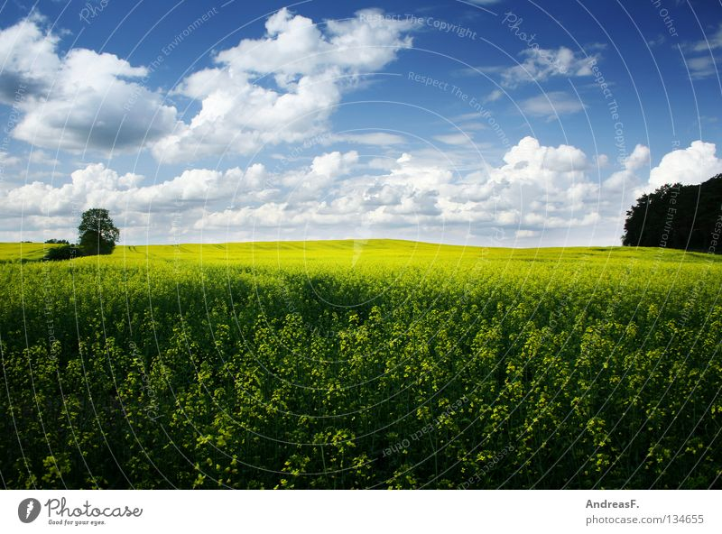 Nature Sky Summer Yellow Spring Landscape Field Energy industry Blossoming Agriculture Agriculture Ecological Organic produce Environmental protection Blue sky Canola
