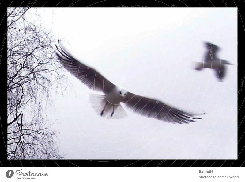 """Flight"" Seagull Bird Animal Autumn Goods Nature Freedom Flying Close-up Aviation Baltic Sea"