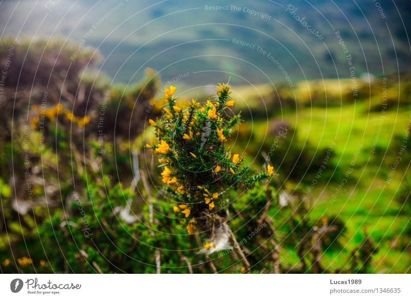 prickly bush Environment Nature Landscape Plant Flower Grass Bushes Moss Meadow Hill Mountain Natural Yellow Gray Green Thorny Colour photo Exterior shot