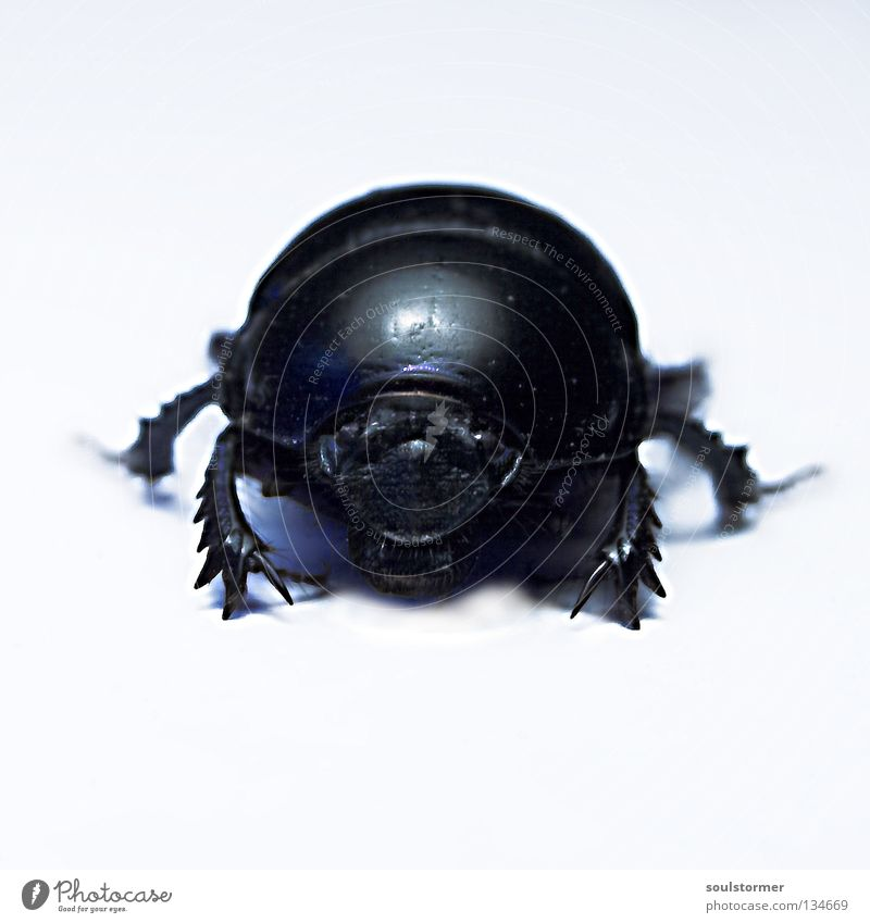 Big Beetle Isolated Image Insect Light Background picture Dangerous Appetite Stand Evil Armor-plated armoured beetle dung beetle Black & white photo Legs Mouth