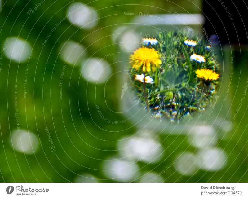 World in the lens Flower Meadow Daisy Grass Blade of grass Green Yellow Spring Summer Growth Relaxation lowen tooth Wild animal Magnifying glass Lens Glass wise