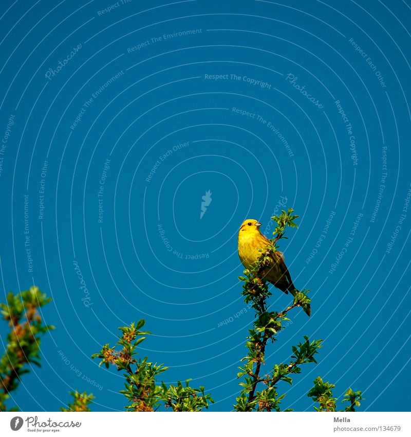 Yellowhammer Spring Environment Nature Plant Animal Leaf Twigs and branches Bird 1 Crouch Looking Sit Natural Blue Perspective Colour photo Multicoloured