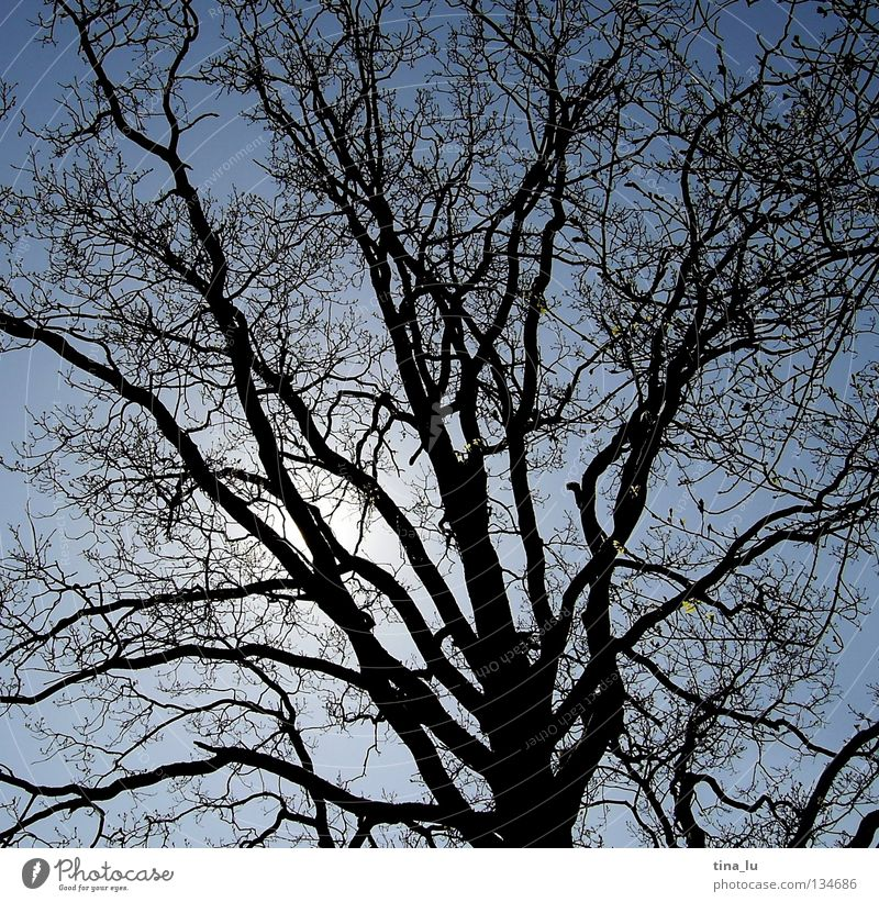 branching Tree Black Back-light Summer Branchage Sky Blue sky Branched Junction Disperse Leafless Bright Dark Shadow play Silhouette Dream