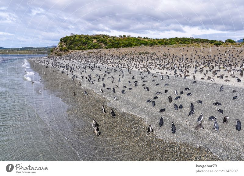 A huge penguin colony on the beach, Beagle Channel, Argentina Sky Nature Water Ocean Landscape Clouds Coast Together Group of animals Hill Infinity