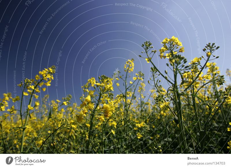 Sky Nature Blue Green Summer Plant Flower Yellow Life Spring Blossom Healthy Field Food Energy industry Growth