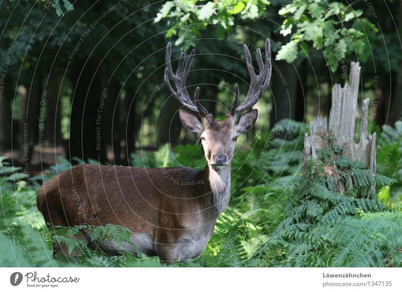 The king of the forest Nature Plant Animal Summer Tree Fern Oak tree Forest Wild animal Deer Red deer 1 Observe Esthetic Authentic Free Natural Curiosity