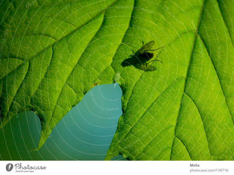 Fly Spring II Blowfly Silhouette Leaf Maple tree Green Insect Rachis Painting and drawing (object) Lighting Tree Transparent Under puck Shadow Blue Contrast