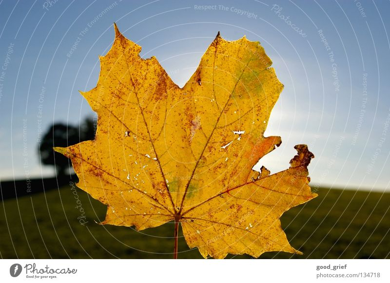 Sky Blue Green Tree Leaf Yellow Autumn Beautiful weather Maple tree