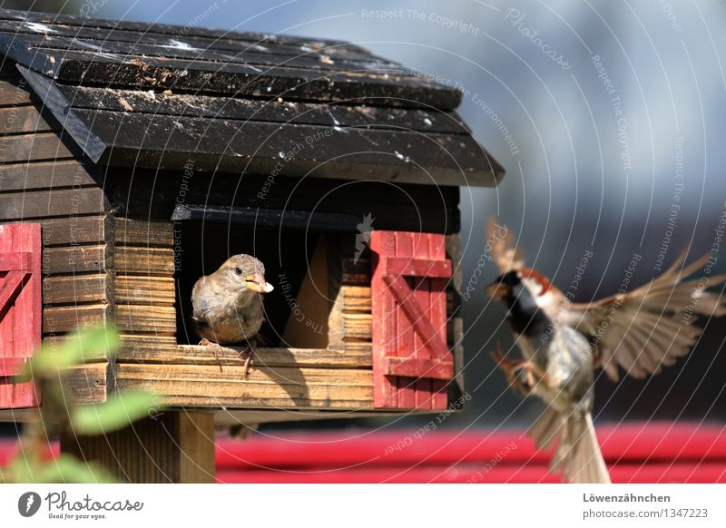 sparrow feeding Animal Bird Sparrow 2 Birdhouse Flying To feed Feeding Curiosity Cute Blue Brown Red Black Enthusiasm Life Nerviness Considerate Nature
