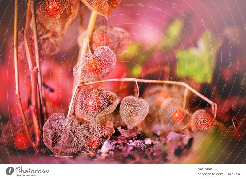 Physalis net Food Tropical fruits Fruit Elegant Style Environment Nature Earth Autumn Beautiful weather Plant Bushes Ivy Agricultural crop Wild plant Exotic