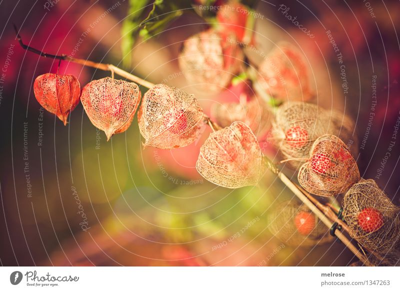 lampions Food Tropical fruits Physalis Elegant Style Environment Nature Summer Beautiful weather Plant Bushes Wild plant Exotic Fruit Garden Lampion net basket